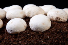 Élevage blanc de champignons Photo stock