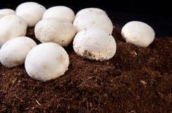 Élevage blanc de champignons Photographie stock