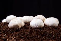 Élevage blanc de champignons Photographie stock libre de droits
