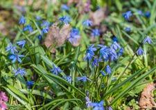 Élevage bleu de jacinthes des bois de ressort Image stock