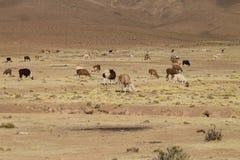 Élevage bolivien de lama, Bolivie Photographie stock
