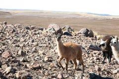 Élevage bolivien de lama, Bolivie Image stock
