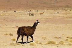 Élevage bolivien de lama, Bolivie Photo libre de droits