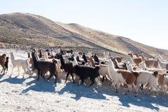 Élevage bolivien de lama, Bolivie Photographie stock libre de droits