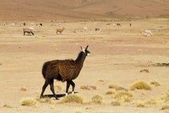 Élevage bolivien de lama, Bolivie Images libres de droits