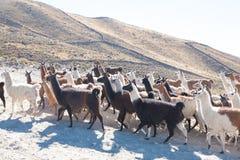 Élevage bolivien de lama, Bolivie Image libre de droits