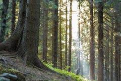 Élevage carpathien paisible stupéfiant magnifique de forêt de pin images libres de droits