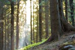 Élevage carpathien paisible stupéfiant magnifique de forêt de pin Image libre de droits