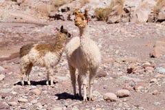 Élevage chilien de lama, Chili Photo stock