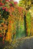 Élevage coloré de plante grimpante de Virginian Images libres de droits