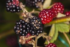 Élevage comestible de mûres rouges et noires Image stock