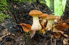 Élevage comestible de mellea d'Armillaria de champignon de miel de champignons d'automne Photo stock