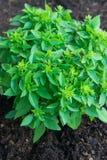 Élevage culinaire d'herbes Pousses de jeune Basil vert frais dans le sol dans le jardin Cuisine de la Provence d'Italien Images stock