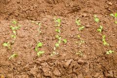 Élevage cultivé d'usine de laitue Photo libre de droits