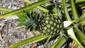 Élevage d'ananas Images libres de droits
