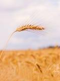 Élevage d'or de blé Photo stock