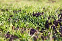 Élevage d'herbe verte Images libres de droits