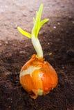 Élevage d'oignon de ressort Photographie stock libre de droits
