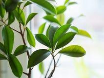 Élevage d'usine de bonsaïs de ginseng de ficus Photos stock