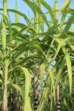 Élevage d'usines de canne à sucre Image stock