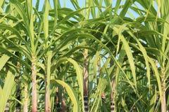 Élevage d'usines de canne à sucre Photographie stock