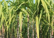 Élevage d'usines de canne à sucre Image libre de droits