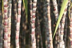 Élevage d'usines de canne à sucre Images stock