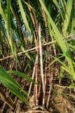 Élevage d'usines de canne à sucre Photos libres de droits