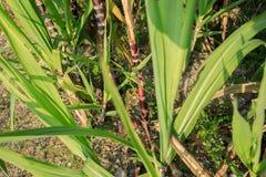 Élevage d'usines de canne à sucre Photographie stock libre de droits