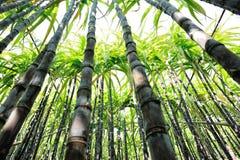 Élevage d'usines de canne à sucre Photos stock