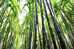 Élevage d'usines de canne à sucre Images libres de droits
