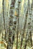 Élevage d'usines de canne à sucre Photo stock