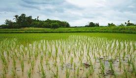 Élevage d'usines de riz Photographie stock libre de droits