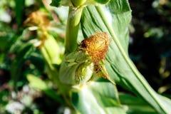 Élevage dans la tête verte de maïs de feuilles Image stock