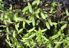 Élevage dans les pousses de serre chaude des légumes Image libre de droits