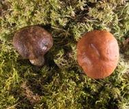 Élevage dans un champignon de forêt Photo libre de droits