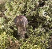 Élevage dans un champignon de forêt Plan rapproché Forêt automnale Images libres de droits