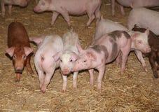 Élevage de bétail Groupe de porcelets nouveau-nés dans la basse cour photo stock