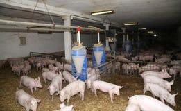 Élevage de bétail Groupe de porcelets nouveau-nés dans la basse cour Image stock