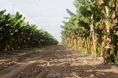 Élevage de bananiers Images stock
