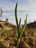 Élevage de blé Images stock