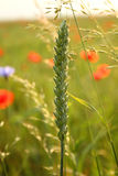 Élevage de blé Images libres de droits