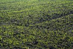 Élevage de blé d'hiver Images libres de droits