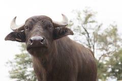 Élevage de Buffalo Photographie stock libre de droits