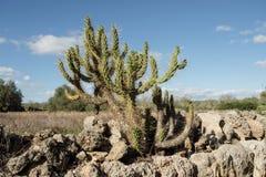 Élevage de cactus Images libres de droits