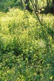 Élevage de celandine de fleur Photographie stock libre de droits