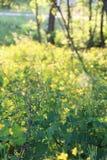 Élevage de celandine de fleur Image stock
