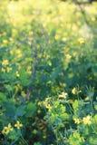 Élevage de celandine de fleur Photos libres de droits