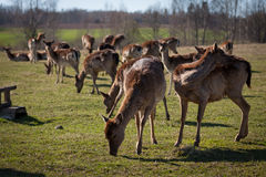 élevage de cerfs communs Photo libre de droits