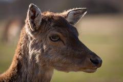 élevage de cerfs communs Photographie stock